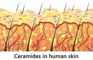 ceramides-in-human-skin